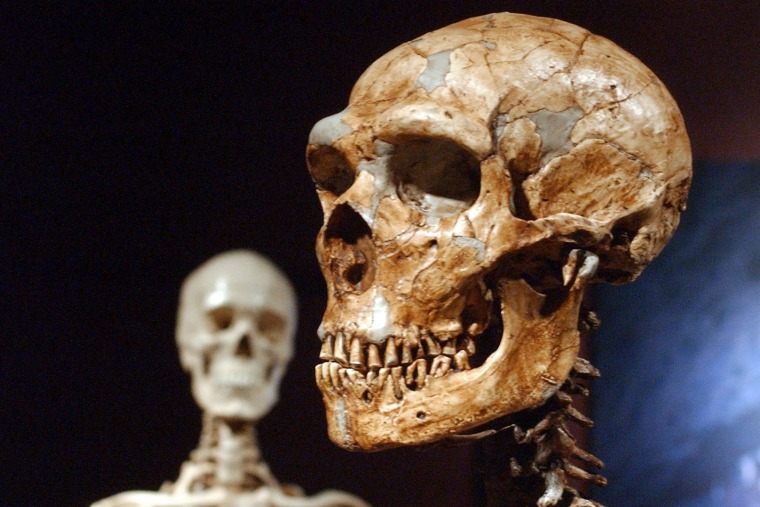 A reconstructed Neanderthal skeleton, right, and a modern human skeleton on display at the Museum of Natural History in New York on January 8, 2003.