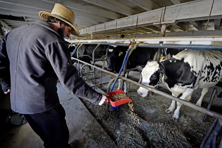 Elmer K. King feeds grain to his dairy cows at his farm in Leacock Township, Pa., in 2018.