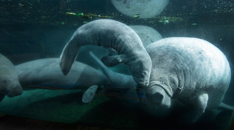 The newborn, christened Valentine, can already be seen comfortably gliding the waters of the Caribbean manatee exhibit in Singapore Zoo.