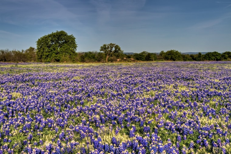 The Texas Hill Country bluebonnet tour is possible thanks to Lady Bird Johnson, who led a campaign to beautify American cities, and in her native Texas, vast gardens of bluebonnets were planted across Texas Hill Country.