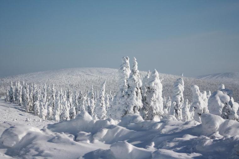 Black Spruce, North of the Yukon, Alaska