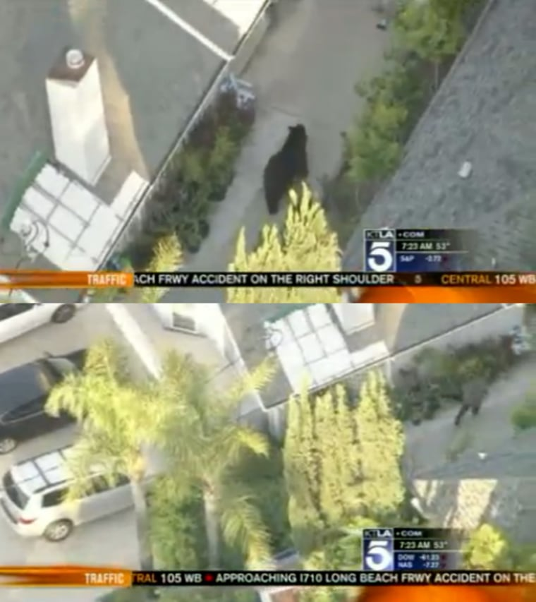 A video by FOX News affiliate KTLA 5 shows how a man nearly walked into a bear attack because he was distracted by a text message.