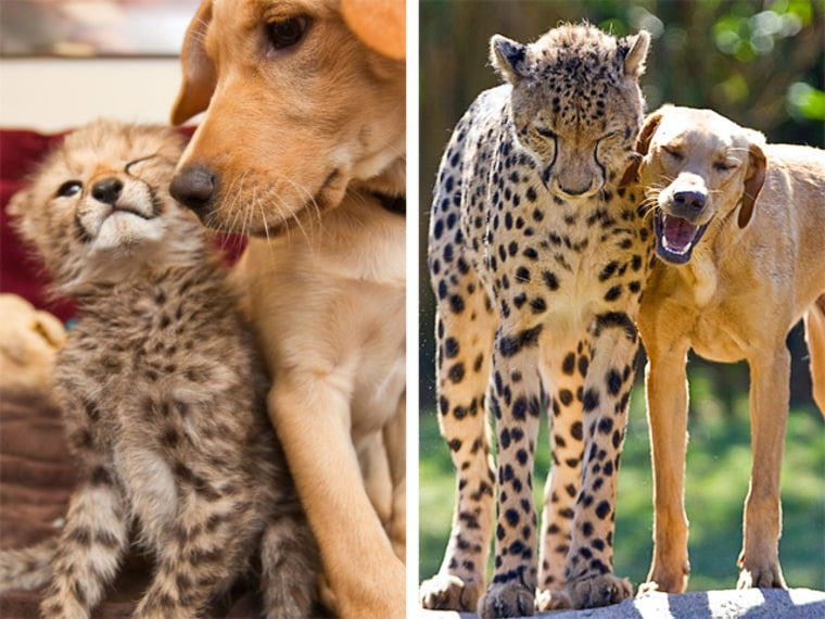 This week Busch Gardens celebrated a milestone anniversary for a special relationship between a dog and cheetah.