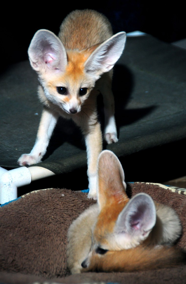Lulu and Roscoe can be seen on the nocturnal side of the zoo's Small Mammal Building.