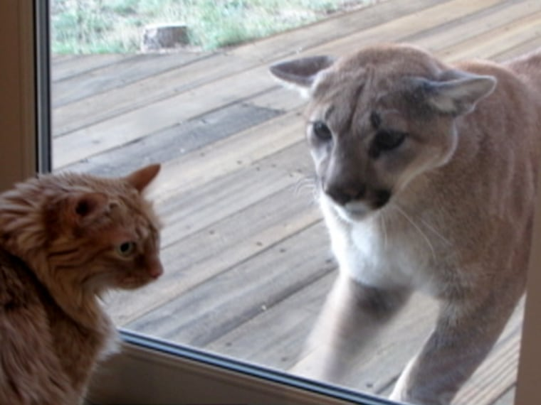 Here Kitty Yikes House Cat Faces Off With Mountain Lion