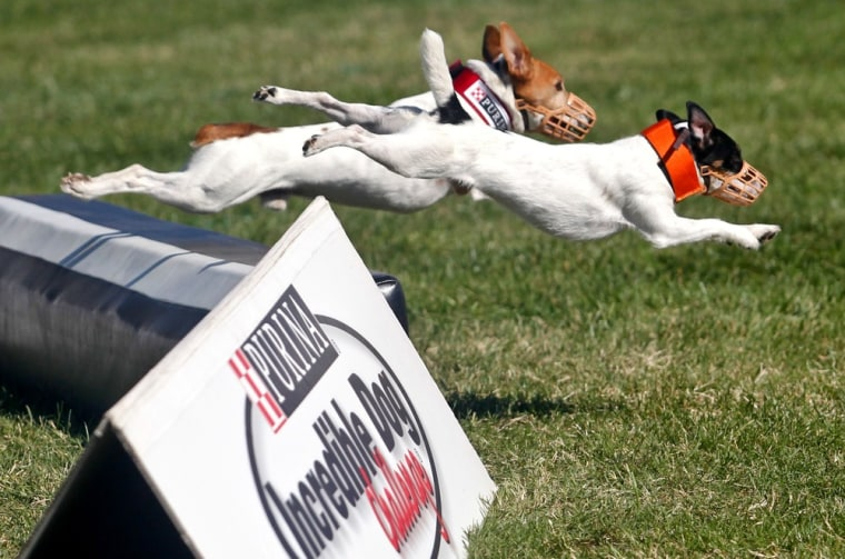 Dogs compete in the Incredible Jack Russell Hurdle Racing Competition at the Purina Incredible Dog Challenge National Finals.