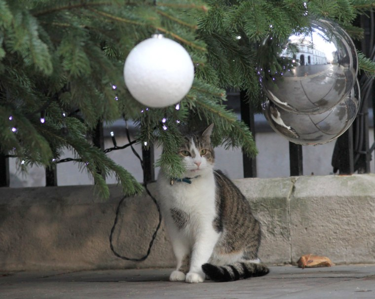 Larry the Downing Street cat sits under the Christmas tree at his home in central London. Staff at the prime minister's offices consider him a great colleague, describing him as friendly and playful.