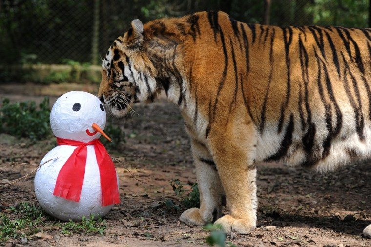 A Siberian tiger sniffs a papier-mache snowman given by the staff as a Christmas present on Dec. 21 in Sao Paulo, Brazil.