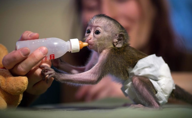Zookeepers in Magdeburg, Germany, show off an adorable newborn mona monkey, born nine days ago.