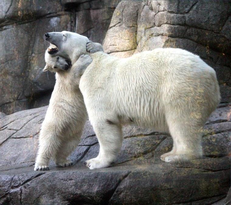 Augo the polar bear cub plays with his mother, Malik.