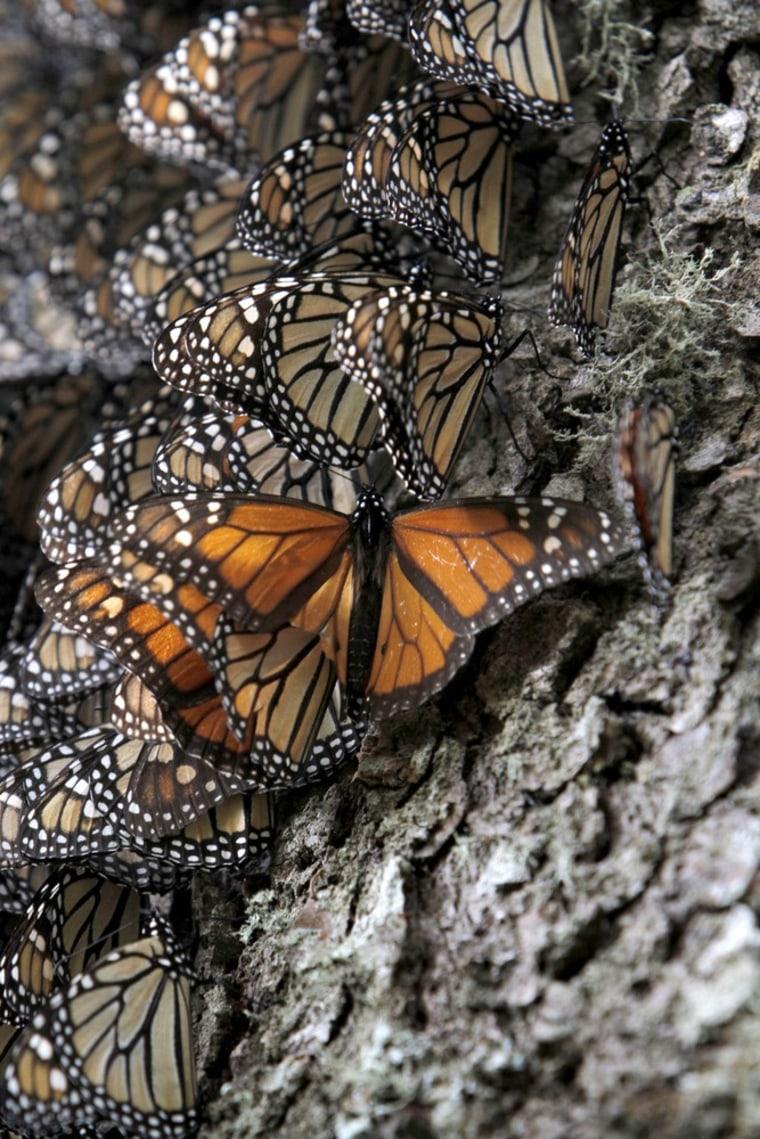 Monarch butterflies sit on a tree trunk.