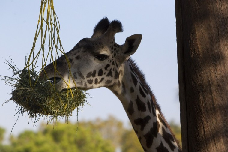 A giraffe digs in at the Houston Zoo.