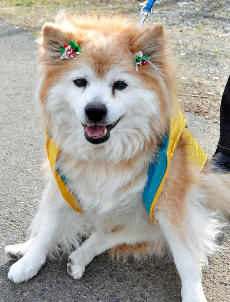 A male cross-breed dog Pusuke is seen in this file photo from Dec. 24, 2010.