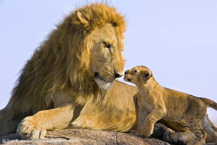 The father lion was extremely gentle during this first meeting with his son, not getting involved in any serious play as the young one adjusted to his presence.