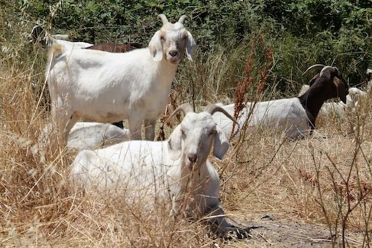 Goats graze alongside San Francisco International Airport.
