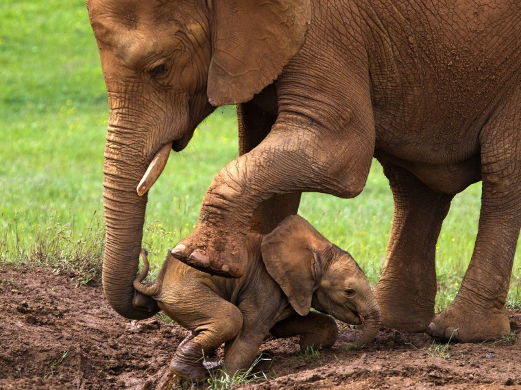 A mother elephant helps her baby escape from sinking into a mud hole.