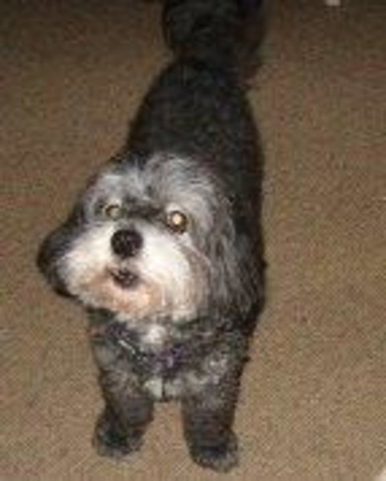"""Thursday, Izzarone's """"schnoodle,"""" had a silver Schnauzer beard, but a similar personality to Anny's."""