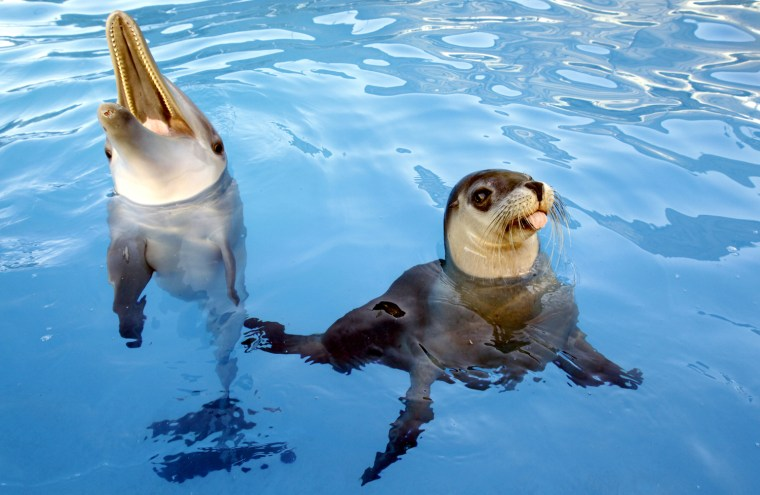 Jet the dolphin and Miri the seal communicate to each other when Miri barks and Jet clicks back.