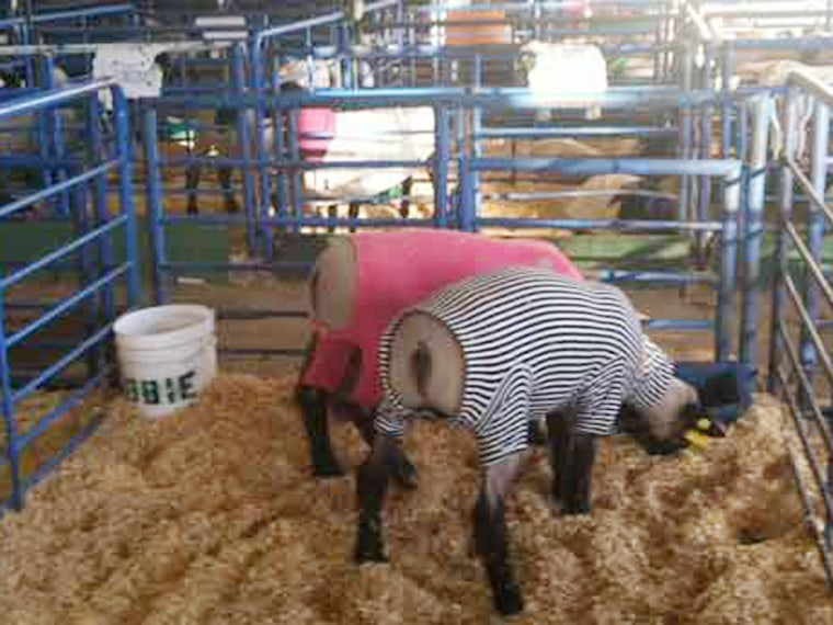 Once vets have come around to inspect the sheep, their owners keep them groomed with blankets and coats.