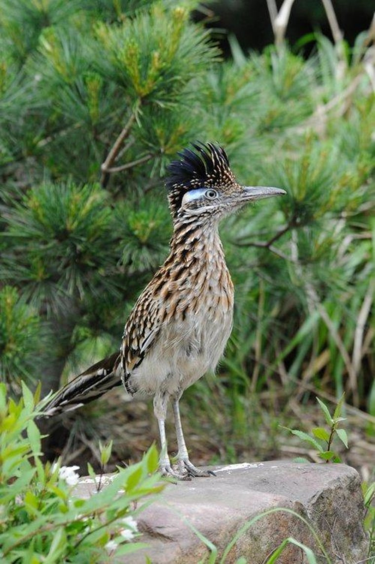 Watch out coyotes! A roadrunner has arrived in New York City.
