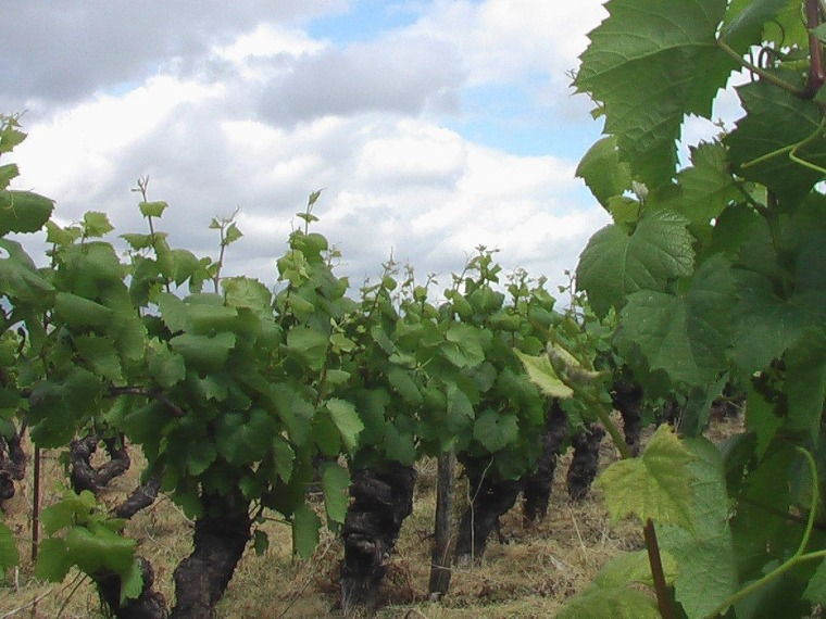 A vineyard of melon de Bourgogne, the grape from which Musacdet is made, in the far western Loire in France.
