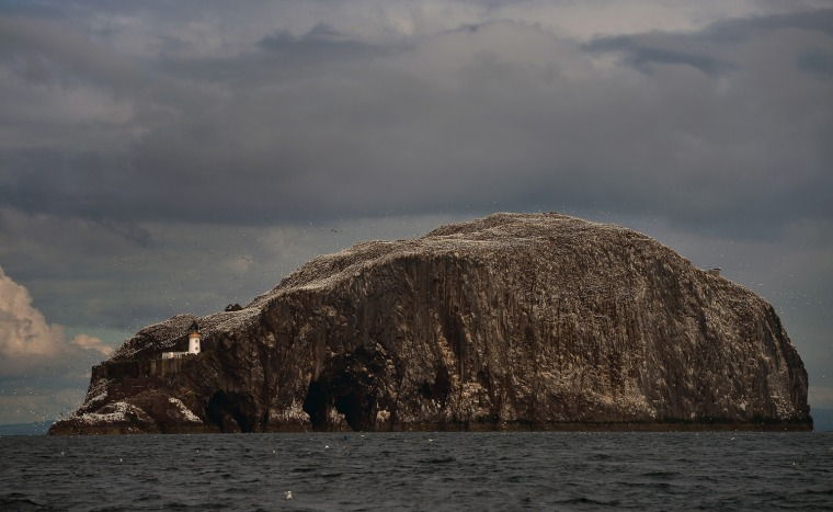 Every January Atlantic gannets start returning to Bass Rock, with 150,000 or more making it the largest single rock gannet colony.