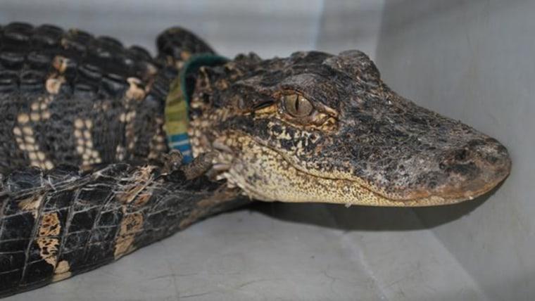 An alligator wearing a collar is shown after its capture.
