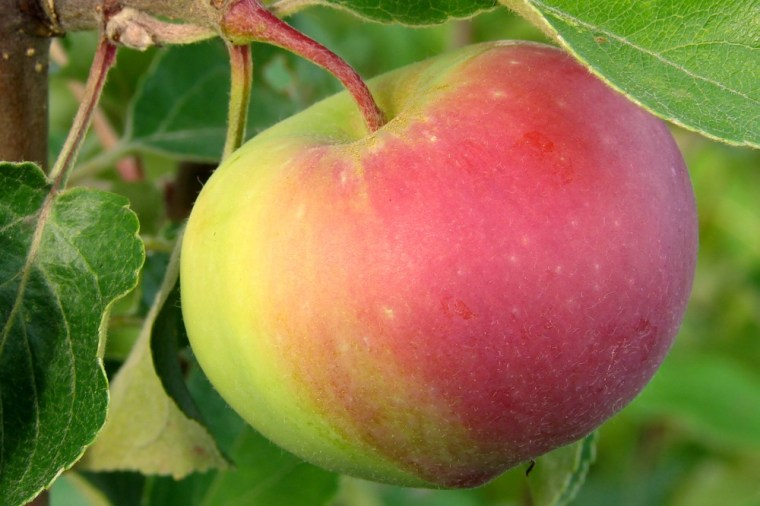 A compound found in apple peels may help fight obesity.