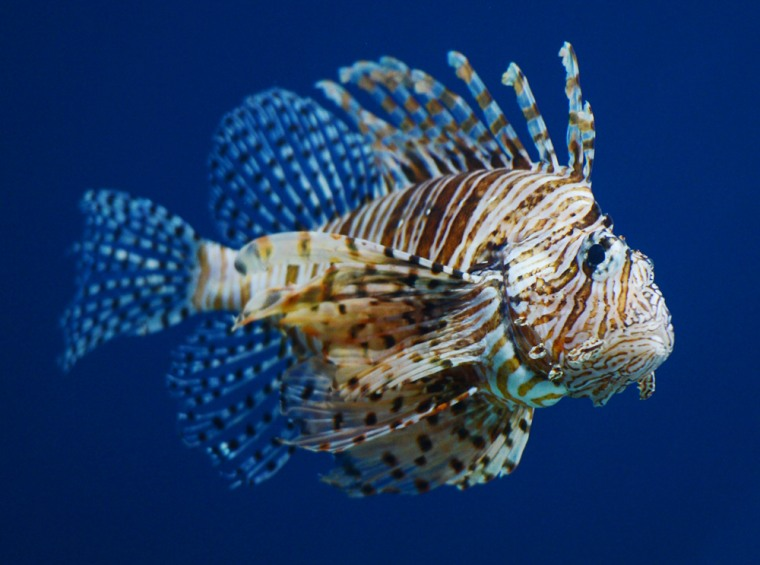 Lionfish may be lovely to look at, but the invasive, voracious fish are regarded as the scourge of the seas.