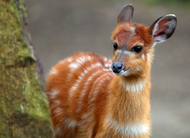 The young Situtunga antelope named