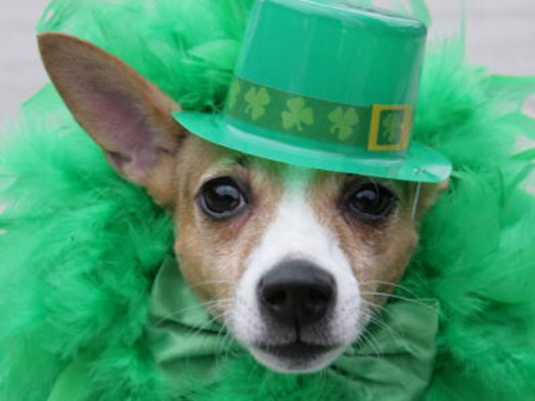 UNITED STATES - MARCH 16: Lambchop, 3, Jack Russell is all Irish during the St. Patrick's Day Parade on Tremont Avenue in the Bronx, NY. on Sunday, March 16, 2008. (Photo by Enid Alvarez/NY Daily News Archive via Getty Images)