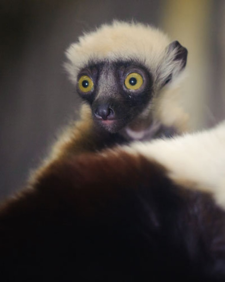 The Saint Louis Zoo is one of eight institutions in the country that are home to this lemur species.