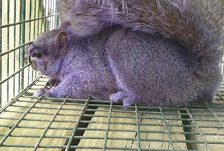 A squirrel sits in a trap laid by the Emert family of Jersey Shore, Pa., in their garden.