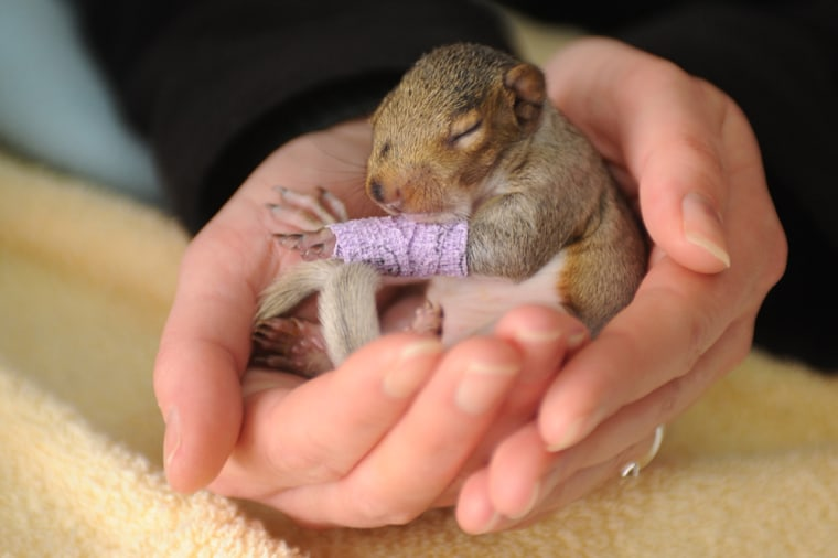UK: This cute little fighter suffered bruising to her leg and was separated from her mother when she fell from a tree - and she is not even three weeks old. The grey squirrel, called Violet, endured the ordeal when the branch her dray was laying on was cut down. Fortunately, the couple cutting down the tree spotted Violet and immediately phoned the Wildlife Aid Foundation for advice on what to do. The foundation, based in Leatherhead, Surrey, took her in and have been feeding her a special milk formula, similar to that her mother would have provided. SEE OUR COPY FOR DETAILS. Pictured: The baby squirrel with a bandage on it's leg at Wildlife Aid, Leatherhead, Surrey. Pic: Tim Goode/Solentnews.biz © Solent News & Photo Agency