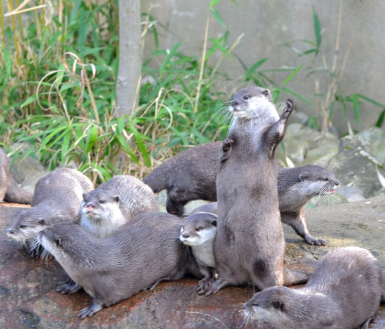 zsllondonzoo ZSL London Zoo #CutePic of the day! Star otter plays air guitar. http://pic.twitter.com/EJRWU9JL