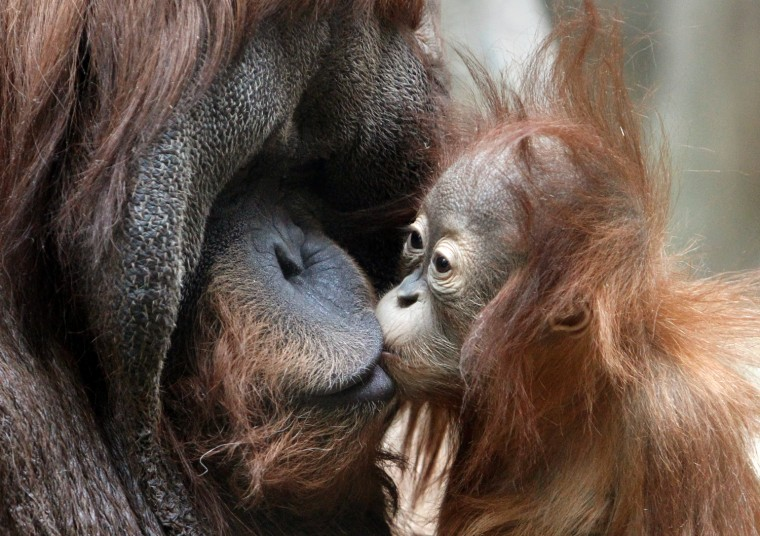A male Sumatran orangutan dad gets a kiss from his cub inside their enclosure at a city zoo in Moscow on March 30.