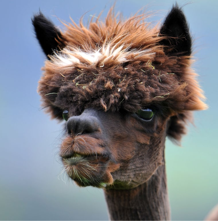 A WIN: Going gray? Then follow this alpaca's example: Don't hide it – own it! Just remember to work an anti-frizz through your fur with a wide-tooth comb.