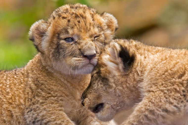 """Ying Yai and her sister bump heads as they unsteadily move around at 14 days old. """"They appeared to still be learning to adjust the focus of their eyes, so it wasn't uncommon to see them bumping into things and each other,"""" photographer Ashley Vincent said."""