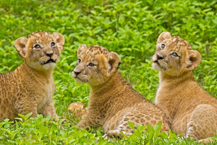 Ying Yai and her two sisters, Ying Klang (Middle Princess) and Ying Lek (Little Princess), lounge together at 1 month of age.