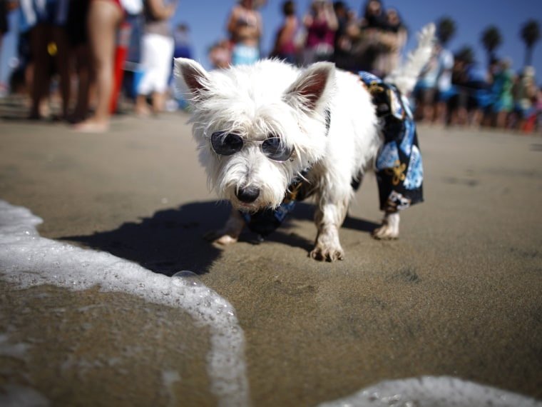 West Highland terrier Joey checks out a wave.