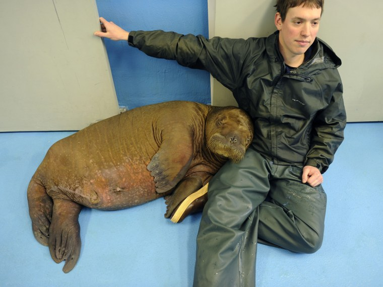 """Mitik leans against Robert Walton, a lab technician at the Alaska SeaLife Center. O'Malley wrote that most animal caretakers at the center think the cuddling aspect of the job is \""""kind of nice.\"""""""