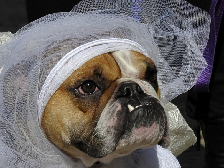 Tank, an English Bulldog, dressed as the Runaway Bride for the 21st Annual Tompkins Square Halloween Dog Parade in New York this month. Dressing up is fine, but keep dogs away from Halloween candy that may contain xylitol, a sugar substitute that can be dangerous or deadly to canines.