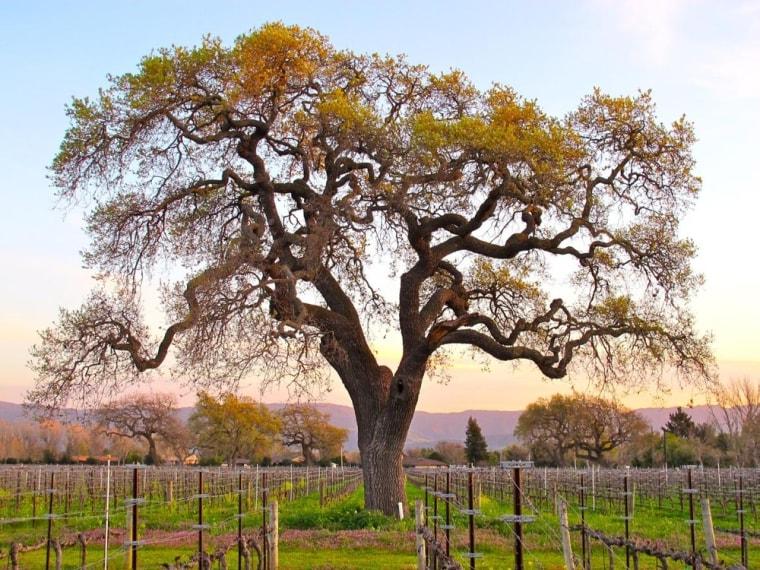 Vineyard in Santa Ynez Valley, Calif.