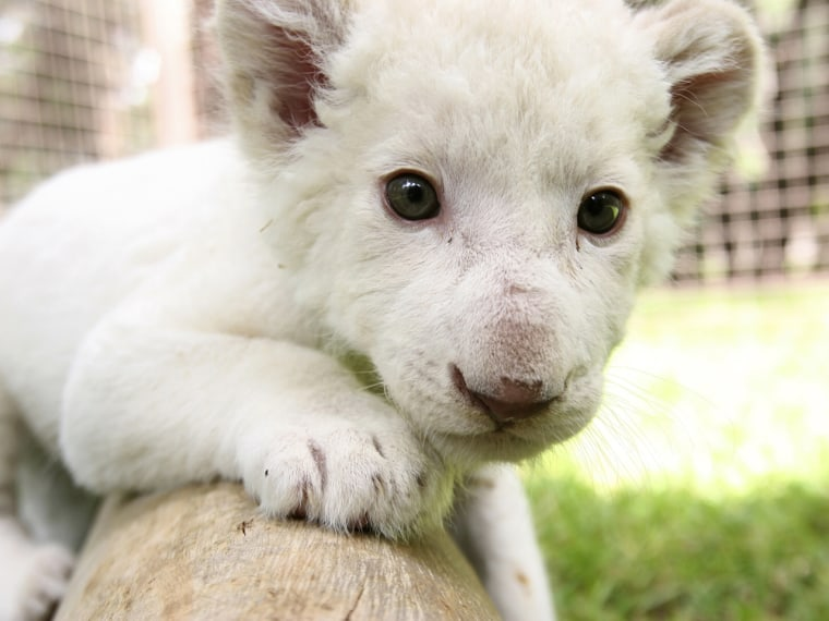The 1-month-old white lion cub plays at Leon's Zoo.