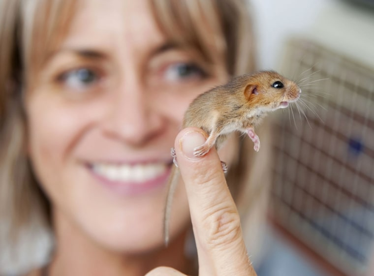 Folly Wildlife Rescue staff members fed Douglas the dormouse Farley's Rusks biscuits and a milk formula every two hours until he built his strength up.