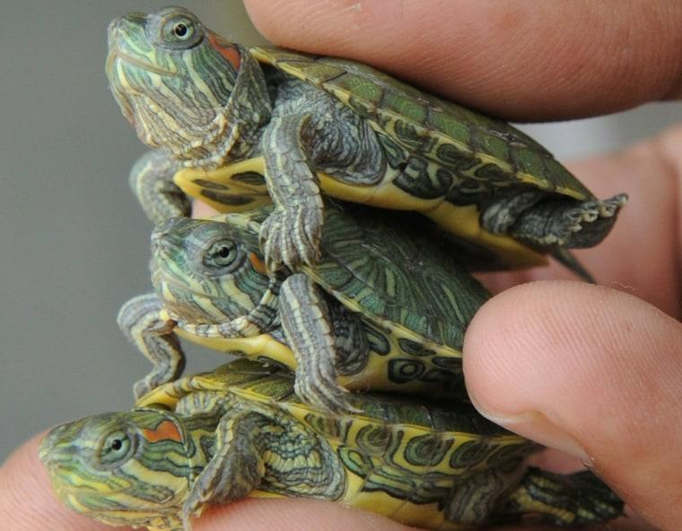 Turtle take-back program aims to curb salmonella risk
