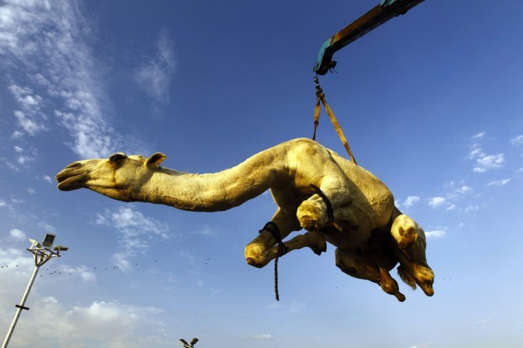 A camel that was purchased by a customer is lifted to be placed in a vehicle at a camel market near Riyadh, Saudi Arabia, on October 23, 2012. Muslims around the world are preparing to celebrate Eid al-Adha (the feast of sacrifice), marking the end of the Hajj, by slaughtering sheep, goats, cows and camels to commemorate Prophet Abraham's willingness to sacrifice his son Ismail on God's command.