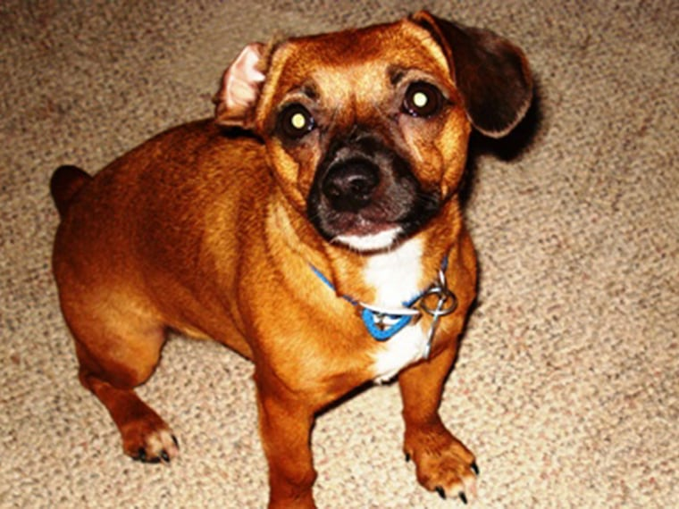 Peanut, a dachshund-terrier mix from Sicklerville, N.J., made the list after his scuffle with a skunk.