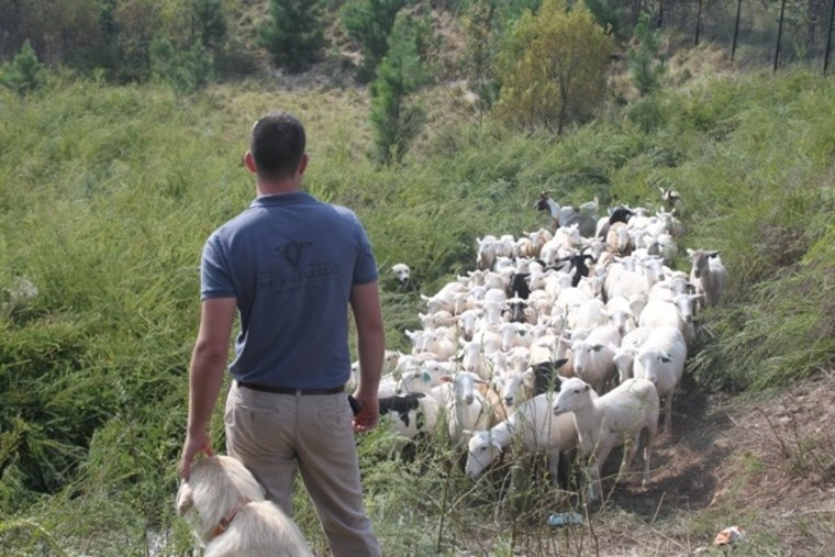 A sheepherder checks a flock of sheep munching on vegetation at the Hartsfield-Jackson Atlanta International Airport.