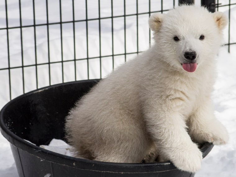 Photographer gets up close with orphan polar bear